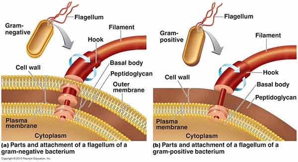 flagella introduction, types, examples, parts, functions andparts of flagella