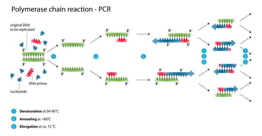 Polymerase Chain Reaction (PCR)- Principle, Types, Procedure, Animation and Applications