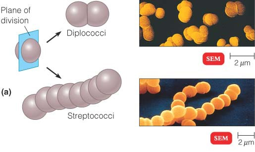 Diplococci and Streptococci