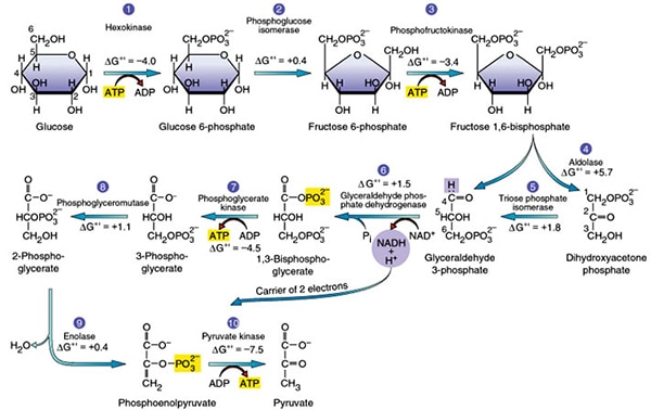 Glycolysis- 10 steps explained steps by steps with diagram