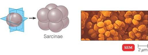 Sarcinae