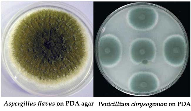Colony Characteristics on Potato Dextrose Agar (PDA)