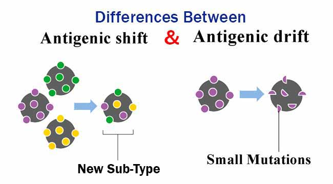 Antigenic Shift and Antigenic Drift