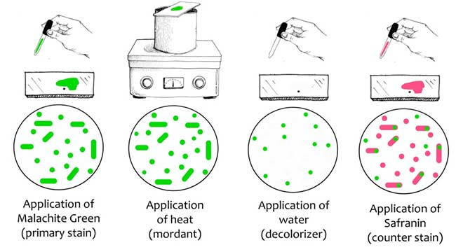 Procedure of Endospore Staining