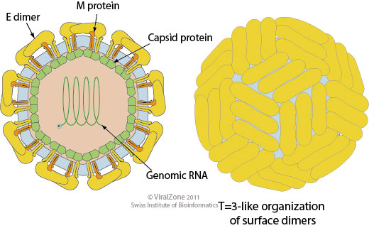 Structure of Zika Virus