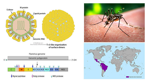 Zika-Virus--Structure,-Genome,-Symptoms,-Transmission,-Pathogenesis,-Diagnosis