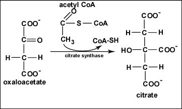 Oxidation of Isocitrate to α-Ketoglutarate