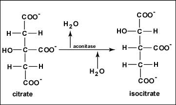 Reaction 2 Formation of Isocitrate