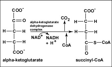 Reaction 4 Oxidation of α-Ketoglutarate to Succinyl-CoA