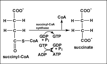 Reaction 5 Conversion of Succinyl-CoA to Succinate