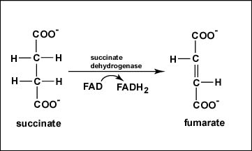 Reaction 6: Oxidation of Succinate to Fumarate