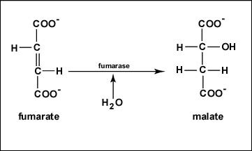 Reaction 7 Hydration of Fumarate to Malate