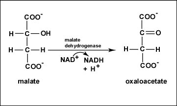 Reaction 8 Oxidation of Malate to Oxaloacetate