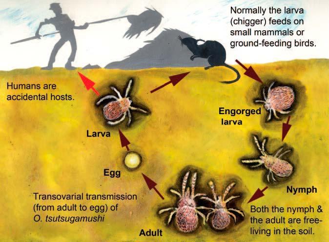 Life cycle of a Leptotrombidium mite
