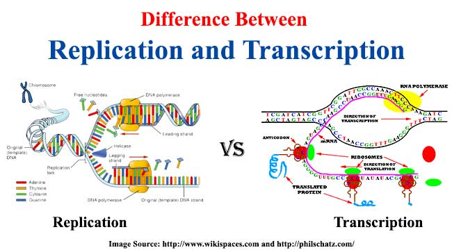 Difference between replication and transcription ccuart