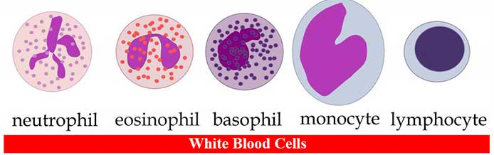 White Blood Cells (Leukocytes)