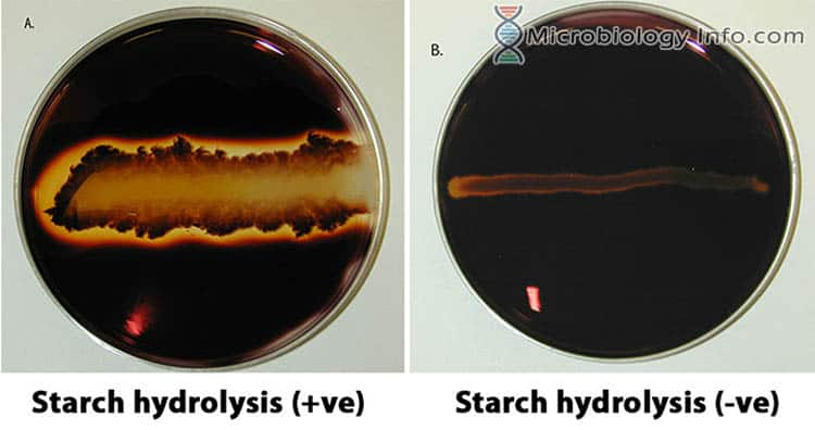 Starch Hydrolysis Test
