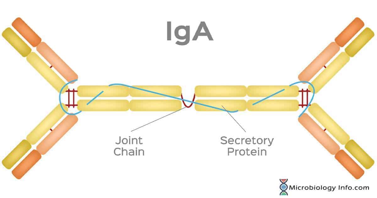 Immunoglobulin A